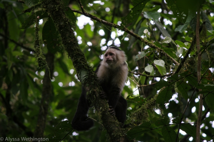White Faced Capuchin, Barillo Carillo National Park, Costa Rica